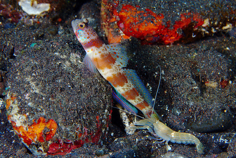 Pistol Shrimp and Goby Symbiosis<br/>Some species of pistol shrimps... | Environmental Science | Scoop.it