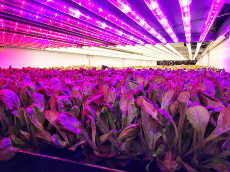 Inside The High-Tech Farm Growing Kale In An Old Paintball Arena | Vertical Farm - Food Factory | Scoop.it