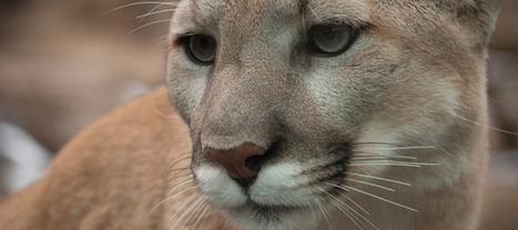 Cougar : cette espèce est désormais éteinte - l'Express   Actualités écologie   Scoop.it