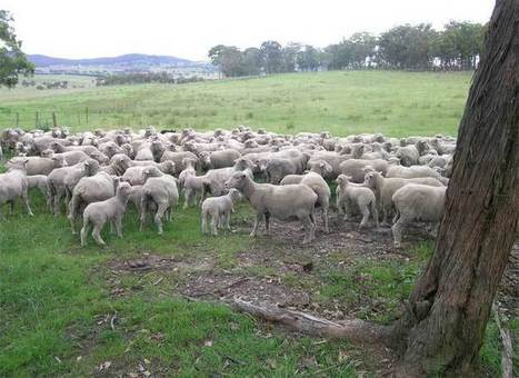 Responsible Wool standard prohibits mulesing | Materials & Production News | Ecotextile News | Ethical Fashion | Scoop.it