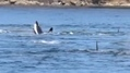 Playing orcas dazzle onlookers near Galiano Island | Orca Whales in the Wild | Scoop.it