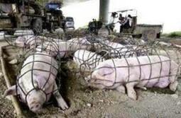 Elevage porcin : la honte des Etats-Unis (Iowa Farms Select Kamrar)   Une seule Terre pour tous - Only one Earth for all   Scoop.it