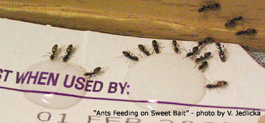 Ant Baits: A Least Toxic Control | All About Ants | Scoop.it