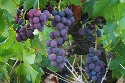 Can Grape-Seed Extract Really Help Reduce Cholesterol and High Blood Pressure? | Healthy Dose of Fitness | Scoop.it