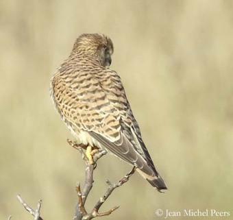 Common Kestrel   Birding in the news   Scoop.it