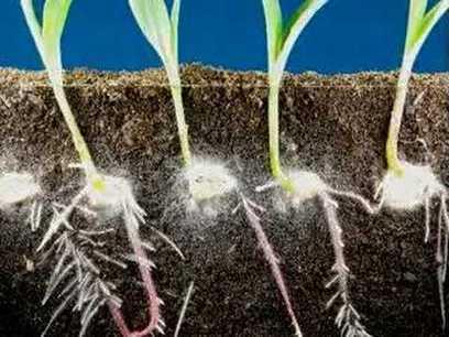 Blog Medioambiente.org Allpe Medio Ambiente: Las plantas hablan (emitiendo y recibiendo sonidos) por las raíces | Cultivos Hidropónicos | Scoop.it