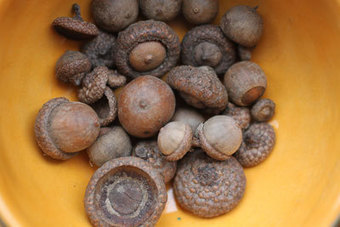 Acorns Helped Sustain Indigenous Groups | Archaeobotany and Domestication | Scoop.it