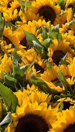 sunflowers - Great Gardening | Gardening is more than Digging the Dirt | Scoop.it