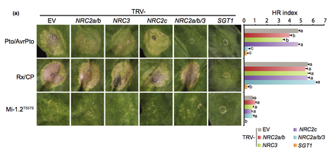 New Phytologist: Helper NLR proteins NRC2a/b and NRC3 but not NRC1 are required for Pto-mediated cell death and resistance in Nicotiana benthamiana - Wu (2015) | Publications from The Sainsbury Laboratory | Scoop.it