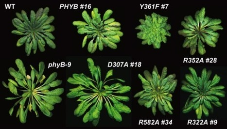 Tricking plants to see the light may control the most important twitch on Earth   CALS News   Plant Biology Teaching Resources (Higher Education)   Scoop.it