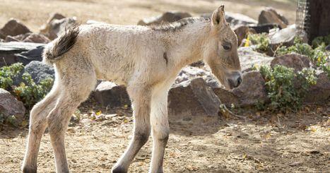 Rare 'wild' horse born at Denver Zoo - 9NEWS.com | Equine Reproduction | Scoop.it