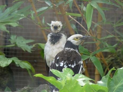 Photos d'oiseaux: Étourneau à cou noir - Gracupica nigricollis   Fauna Free Pics - Public Domain - Photos gratuites d'animaux   Scoop.it
