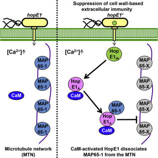 Cell Host & Microbe: A Bacterial Effector Co-opts Calmodulin to Target the Plant Microtubule Network (2016) | Plants and Microbes | Scoop.it