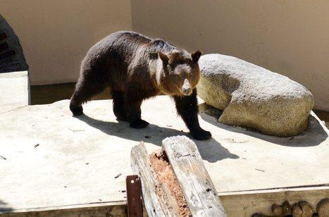 Voir un ours en toute sécurité | Christian Portello | Scoop.it