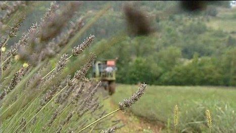 Lavande : la récolte a commencé dans la Drôme - France 3 Rhône-Alpes   Le Fil @gricole   Scoop.it
