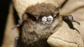 An epidemic in bats threatens billions of dollars in crops—so why is it being ignored? | Our Evolving Earth | Scoop.it