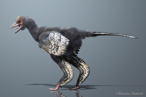 Aurornis xui replace l'archéoptéryx parmi les ancêtres des oiseaux | Aux origines | Scoop.it