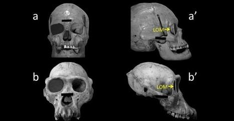 La evolución del cráneo humano favoreció la visión periférica   When mkt meet evolution   Scoop.it