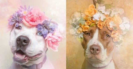 Dreamy Pit Bull Portraits Show Softer Side of a Misunderstood Breed | Prozac Moments | Scoop.it