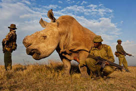 No horn of plenty   Kruger & African Wildlife   Scoop.it