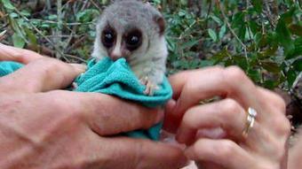Could Lemur Hibernation Answer Space Travel Questions? | Biomimicry | Scoop.it