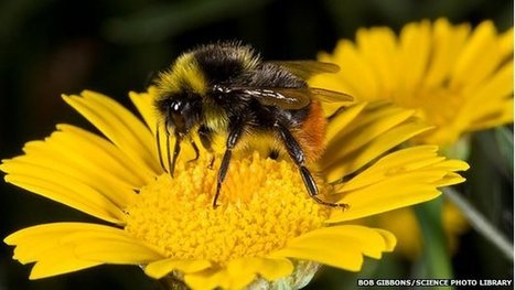 BBSRC funded: New threats to wild bees identified | BIOSCIENCE NEWS | Scoop.it