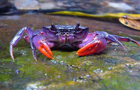 Beautiful purple crab discovered in Philippines   Internet Marketing Brain Candy   Scoop.it