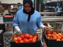European Supermarkets Defend Low Wages To Moroccan Tomato Pickers - CorpWatch.org cc @cashinvestigati | News in english | Scoop.it