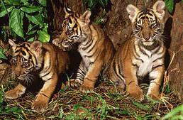 L'avenir des tigres sauvages est menacé, il devient urgent pour l'Asie de mettre fin aux fermes | Biodiversité & Relations Homme - Nature - Environnement : Un Scoop.it du Muséum de Toulouse | Scoop.it