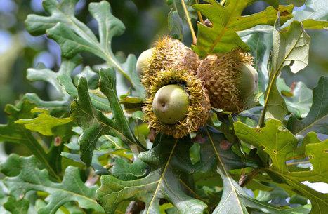 Bur Oak Acorns   Arborilogical   Scoop.it