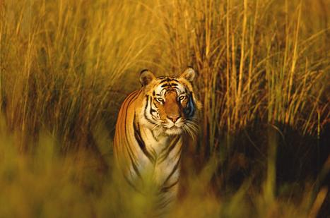 Bengal Tiger   Species   WWF   Year 7 Science: Endangered Species – Tigers across Asia   Scoop.it