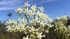 Sunshine Coast expert calls for wildflower protection | Australian Plants on the Web | Scoop.it