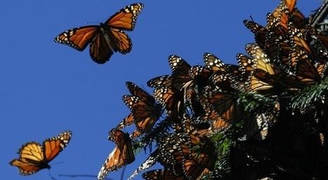 Le Roundup de Monsanto, tueur du papillon monarque   Slate   Inspirons-nous : santé-environnement, les bonnes idées pour agir!   Scoop.it