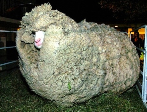 Shrek, The Sheep Who Escaped Shearing for 6 Years | Amusing Planet | Education | Scoop.it