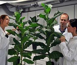 Growing medicines, artificial vitamins in GMO p...
