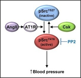 Gene Silencing and Haploinsufficiency of  Csk  Increase Blood Pressure | Salt and Sugar | Scoop.it