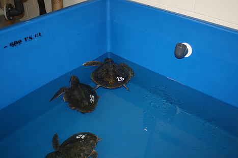 Marine Animal Rescue Team Blog: What's happening with the Cold-Stunned turtles? | Marine Biology | Scoop.it