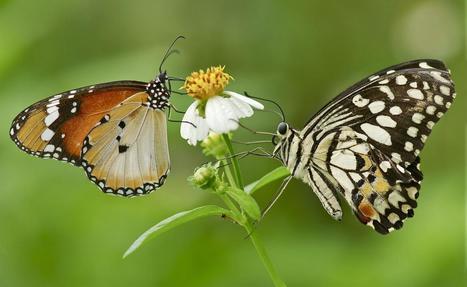La population des papillons de prairie a diminué de moitié en vingt ans | EntomoNews | Scoop.it