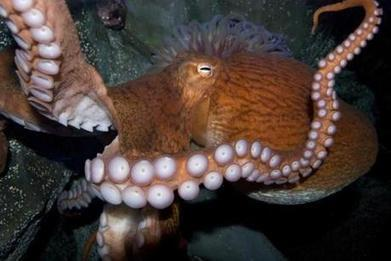 Birds do it. Bees do it. Giant Pacific octopuses do, too - The Boston Globe | Food for Foodies | Scoop.it