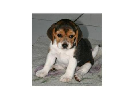 Sweet Beagle puppies. - Classified Ads UK | Place Free Ads | freelly.co.uk | UK Classifieds | Scoop.it