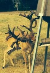 6 Super Genetic Bred Does | Bred Does and Exotic Deer For Sale | Hunting | Scoop.it