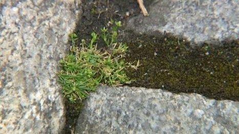 Page nature en Limousin : à la découverte des plantes des villes ! - France 3 Limousin | Réseau Tela Botanica | Scoop.it