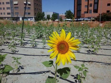Plantar girasoles para hacer la ciudad más habitable | #territori | Scoop.it