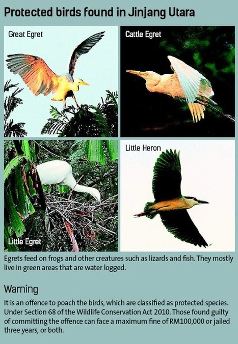 Residents concerned that poachers are targeting egrets and herons | Wildlife Trafficking: Who Does it? Allows it? | Scoop.it