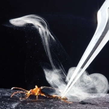 Amazing Bombardier Beetle Shoots Toxic Bullets from its Butt | China Topix | CALS in the News | Scoop.it