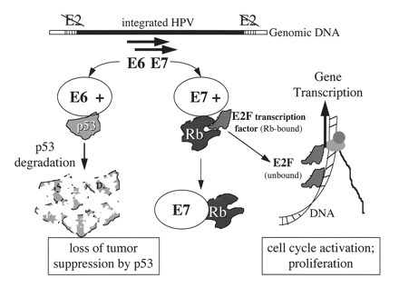 Inactivation of the human papillomavirus E6 or E7 gene in cervical carcinoma cells using a bacterial CRISPR/Cas | Multi- gene | Scoop.it