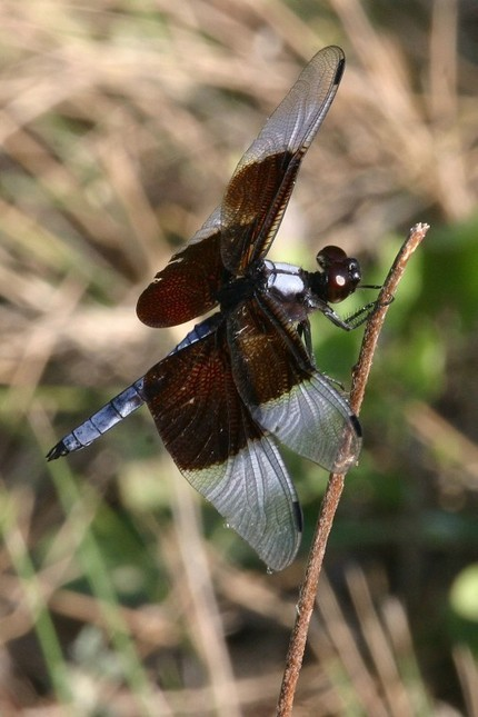 Dragonflies versus Damselflies: What's the difference?   Mary Ann's Nature Articles from The Hutto News   Scoop.it