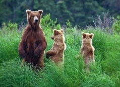 sustainability news: Wolves and Grizzly Bears, perfect together in Yellowstone!   Environment   Scoop.it