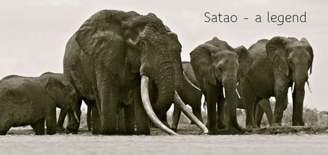 Satao - a legend | The Fight for Elephant & Rhino Survival | Scoop.it
