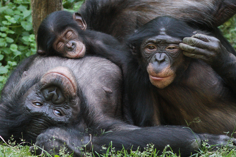 Chimps use gestures to communicate and scientists have a dictionary for it | animals and prosocial capacities | Scoop.it